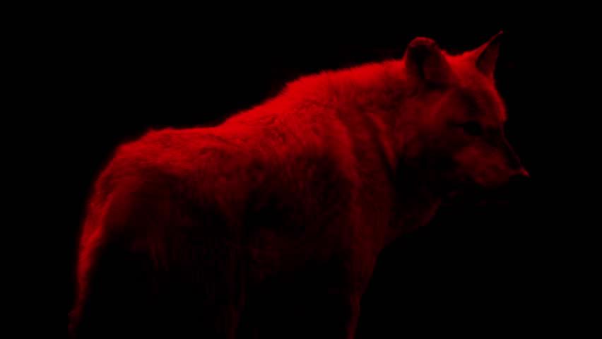 گرگ رم - گرگ قرمز - آ اس رم - Wolf  - پوستر گرگ